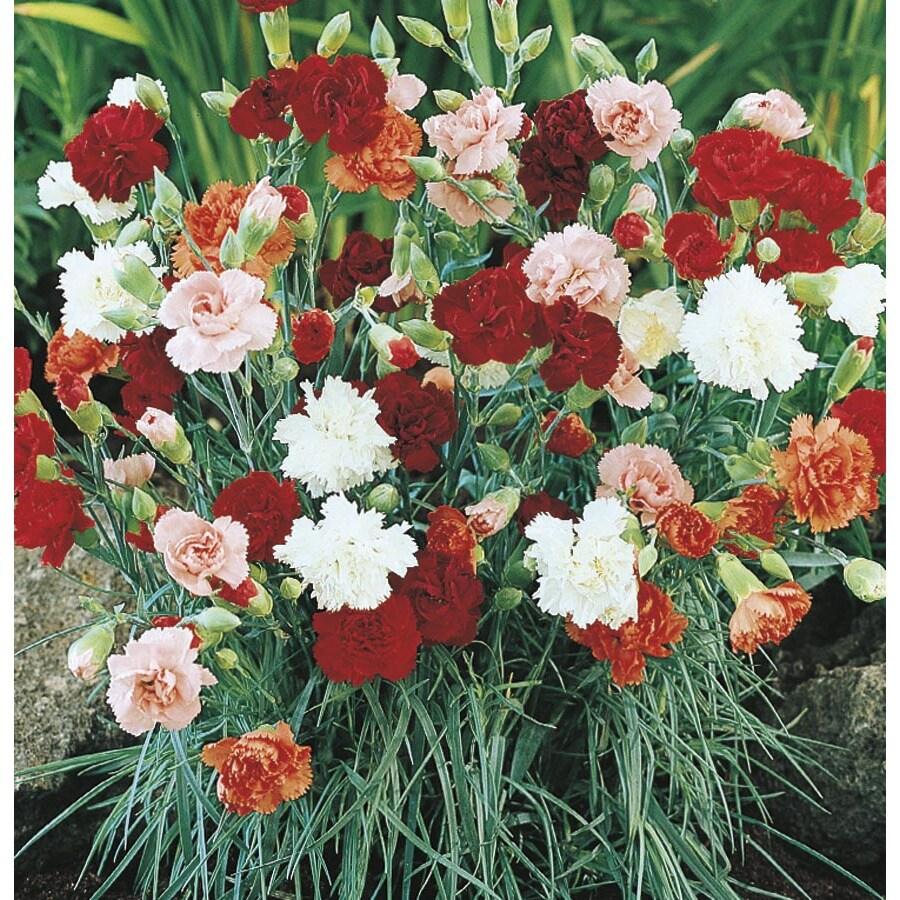 1-Quart Carnations (L5774)