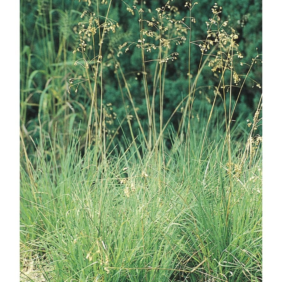 2.5-Quart Quaking Grass (L5028)