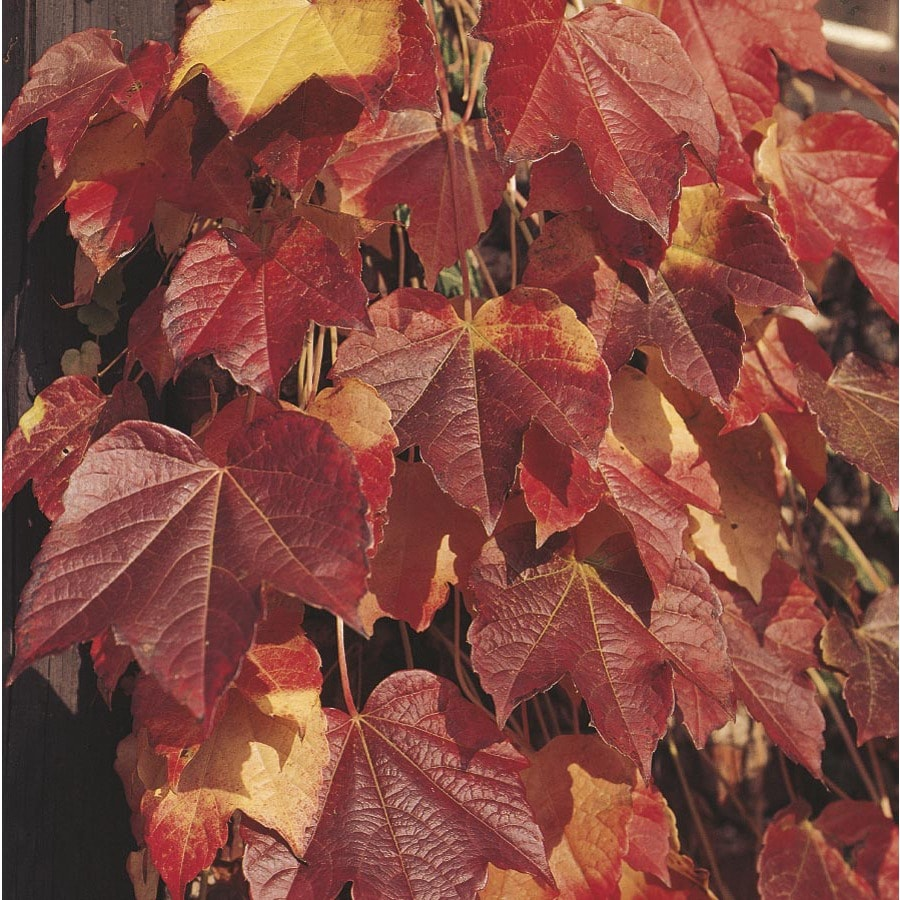 1.5-Gallon Boston Ivy (L5318)