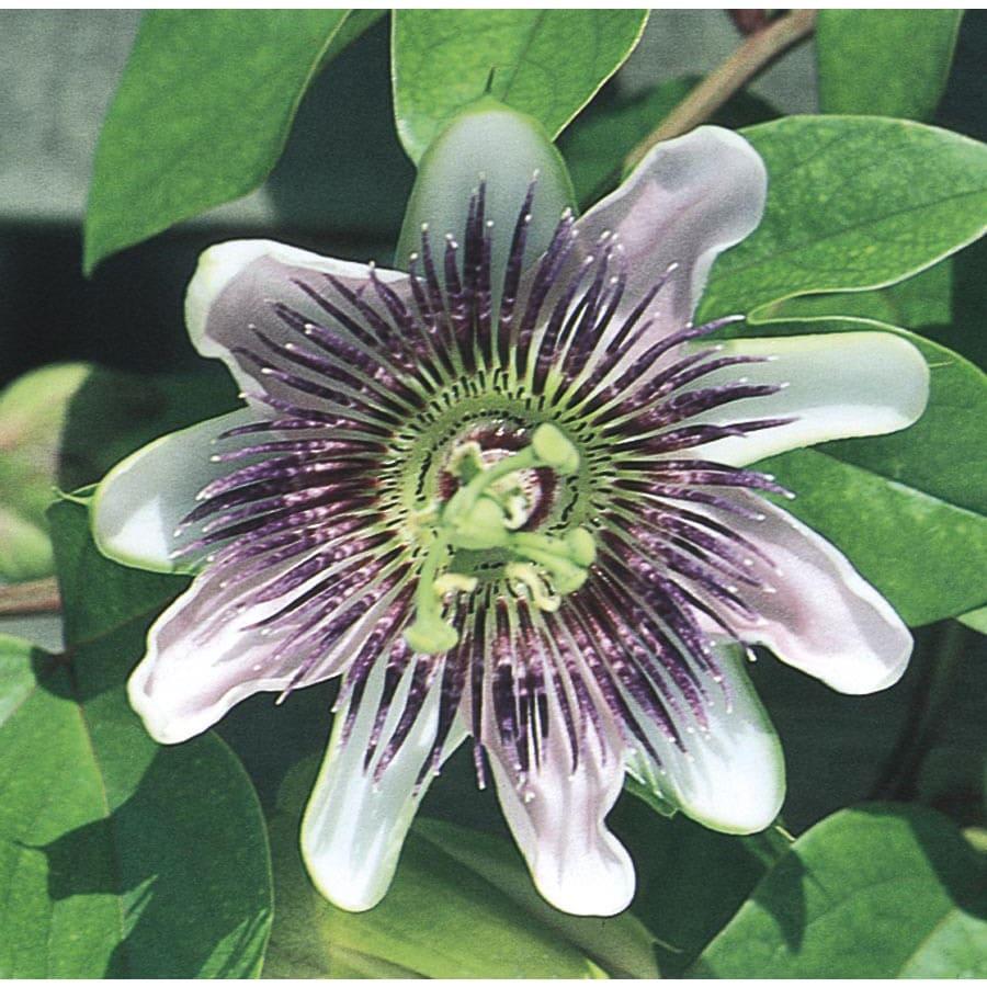 1.5-Gallon Purple Passion flower (L9171)
