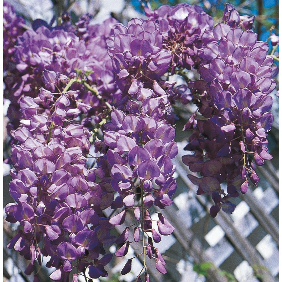 1.5-Gallon Wisteria (L6343)