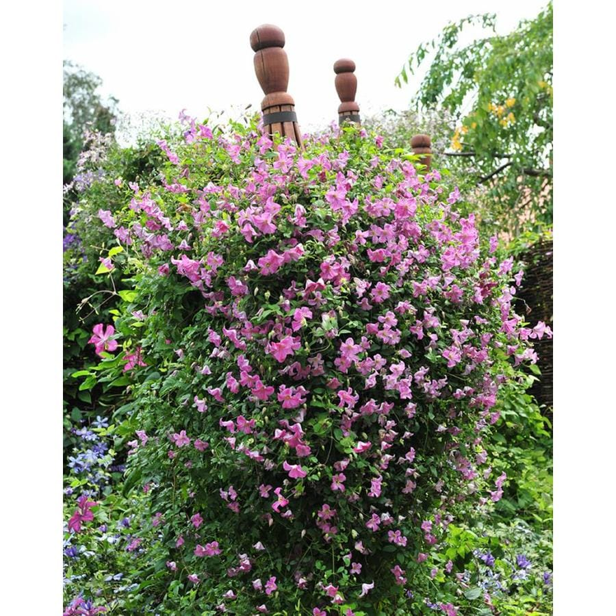 3-Gallon Clematis