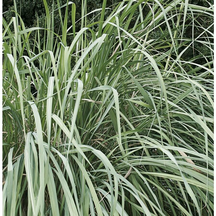 2.25-Gallon Hardy Pampas Grass (L4711)