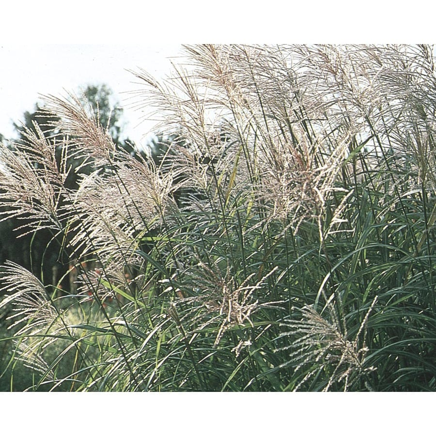 3-Gallon Eulalia Grass (L3912)