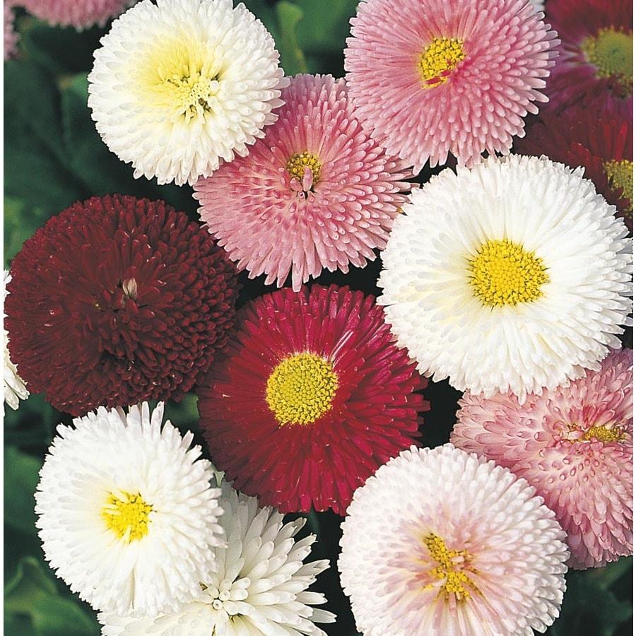 1-Pint English Daisy (L24885)