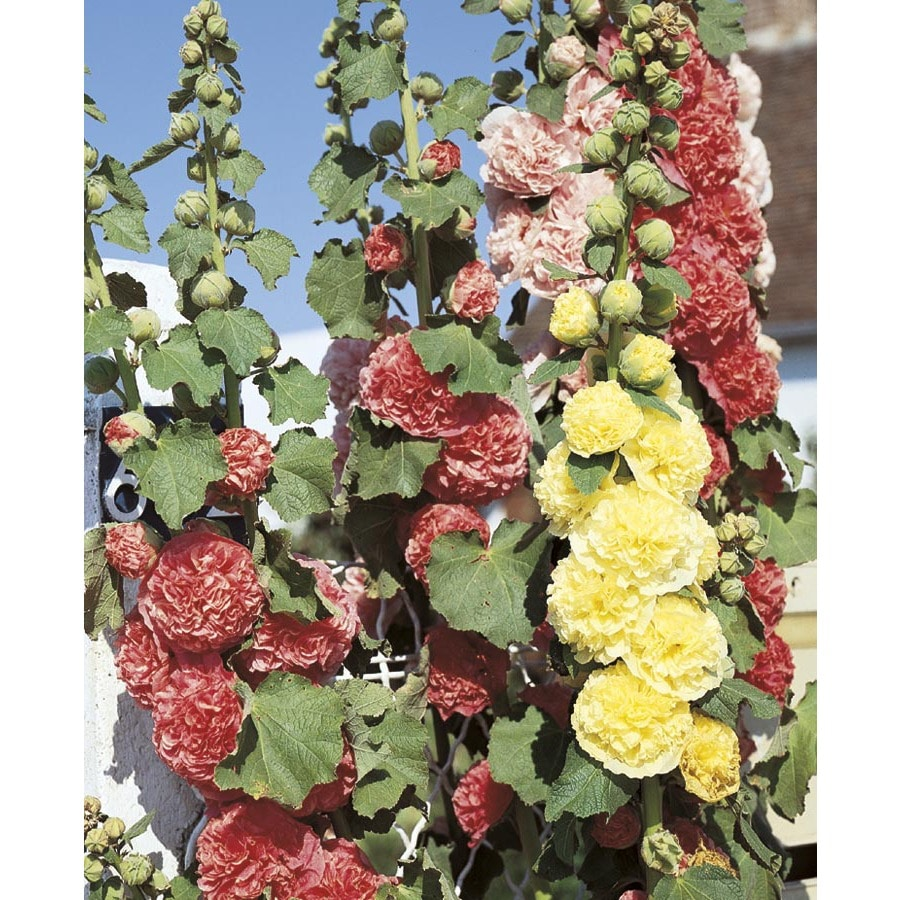 1-Quart Chaters Mix Hollyhock (L2003)