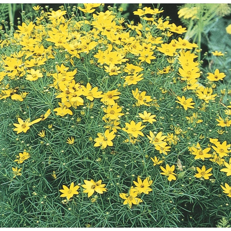 Shop 1 Quart Potted Zagreb Coreopsis L5684 At Lowes