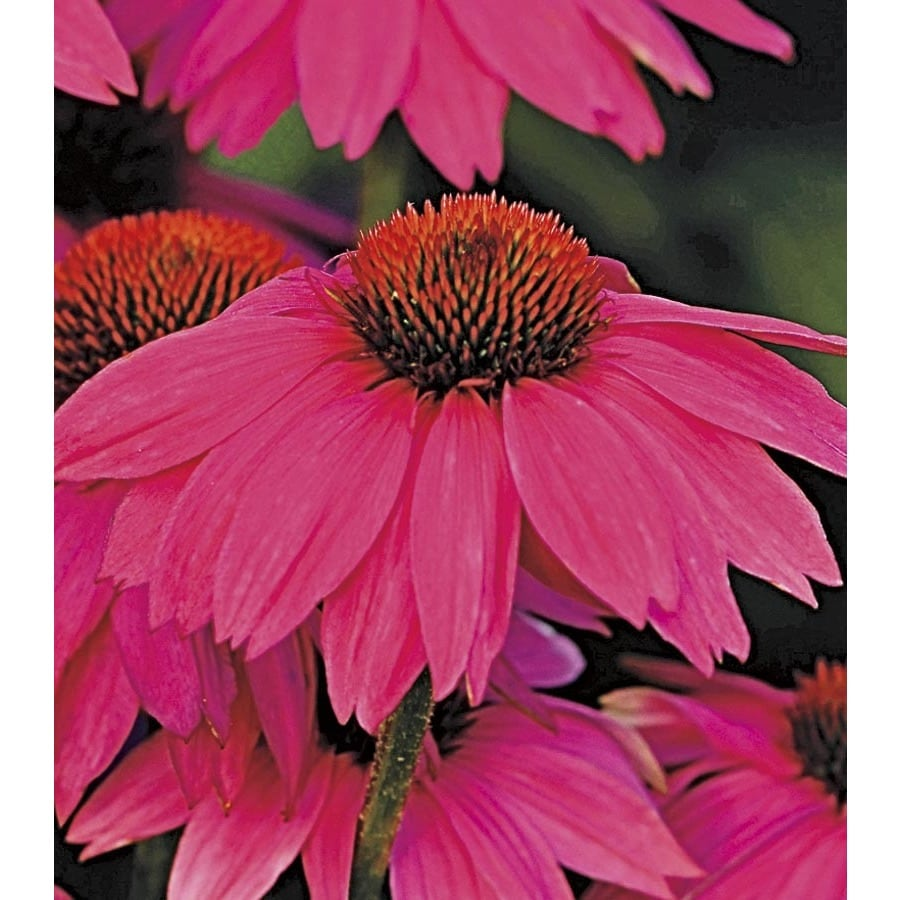 1-Quart Powwow Wild Berry Coneflower (L22171)