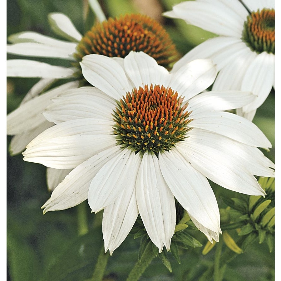 1-Quart Powwow White Coneflower (L22170)