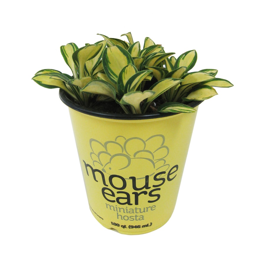 1-Quart Mouse Ears Plantain Lily