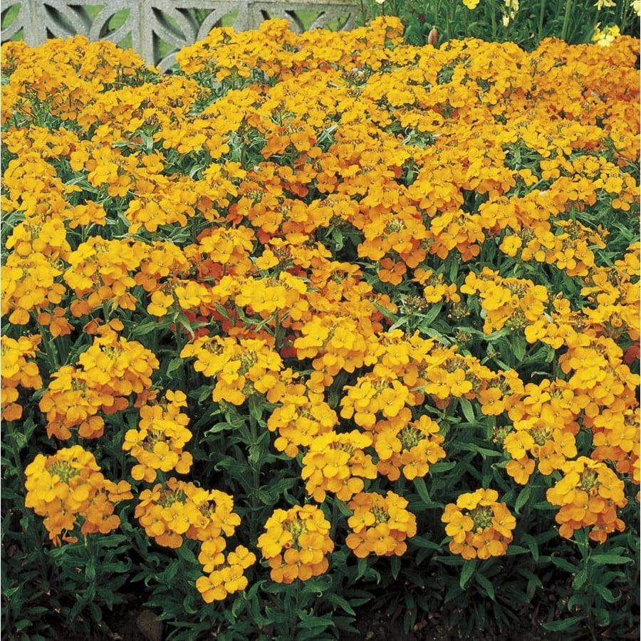 3-Quart Wallflower (L15531)