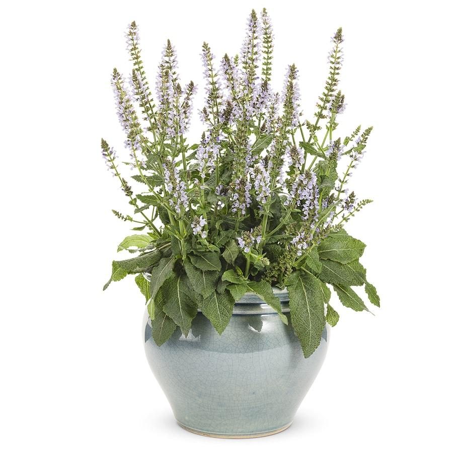 Proven Winner 1-Gallon Salvia