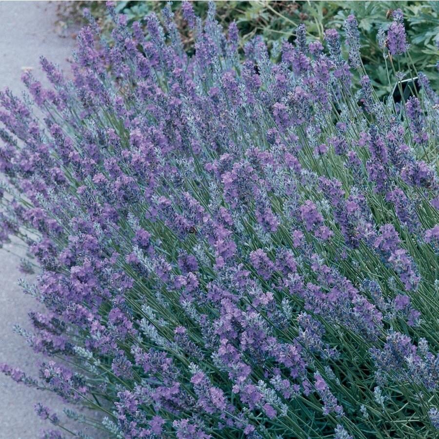 3-Quart English Lavender (L6071)