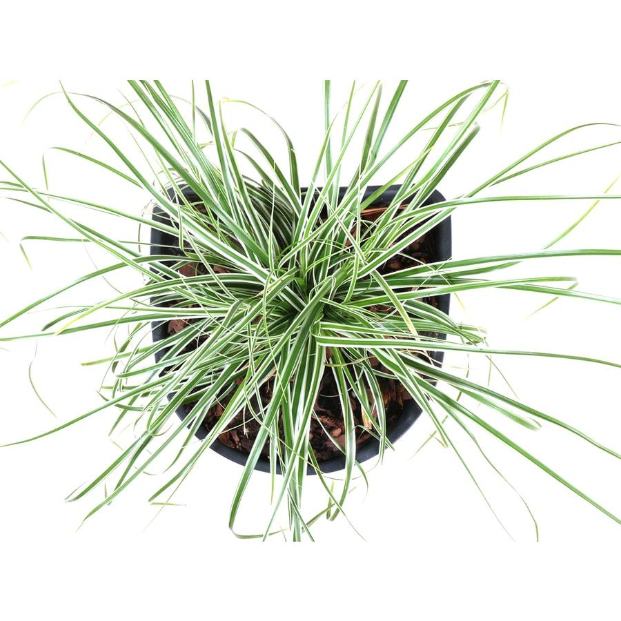 Monrovia 2-Quart Everest Carex