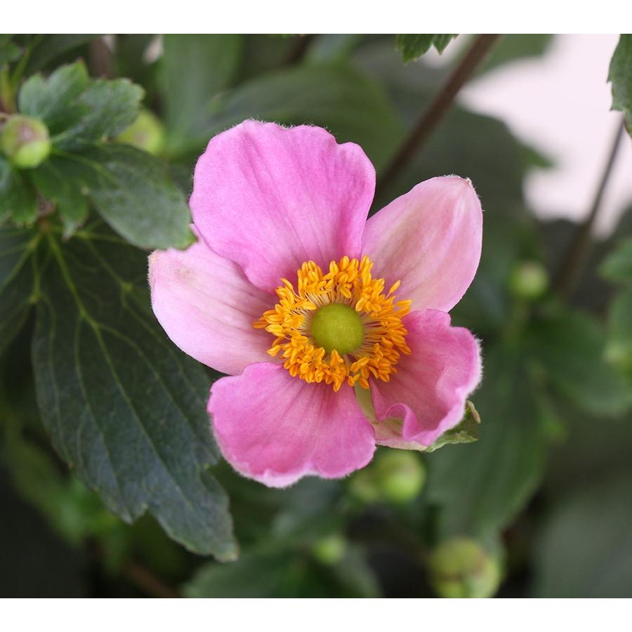Monrovia 1-Gallon Pink Kiss Anemone