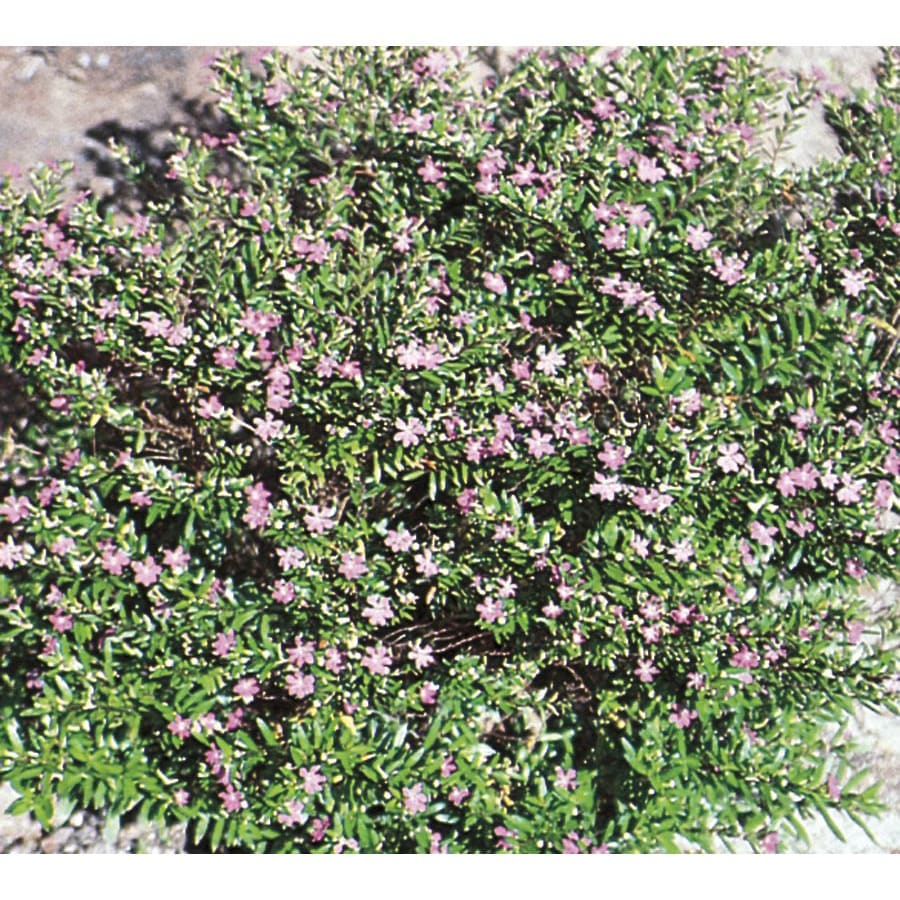 1.37-Quart Mexican Heather (L7071)