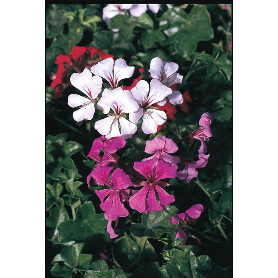 1.25-Gallon Ivy Geranium (L4088)
