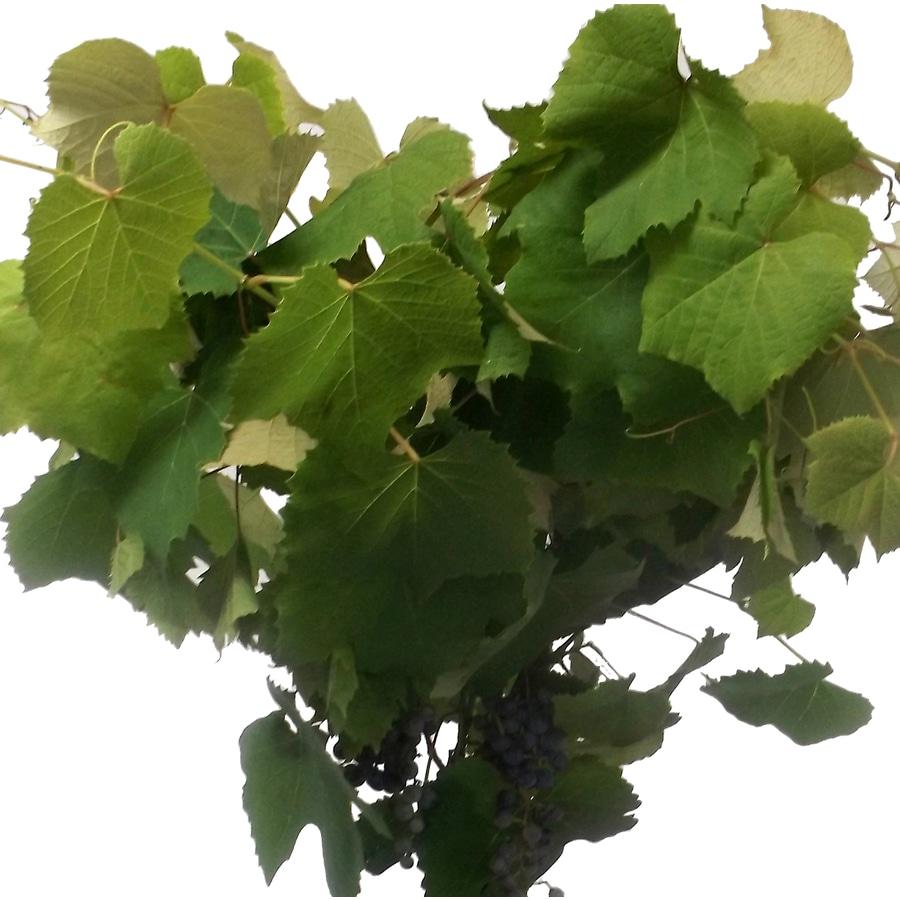 1.25-Quart Grape Feature Shrub