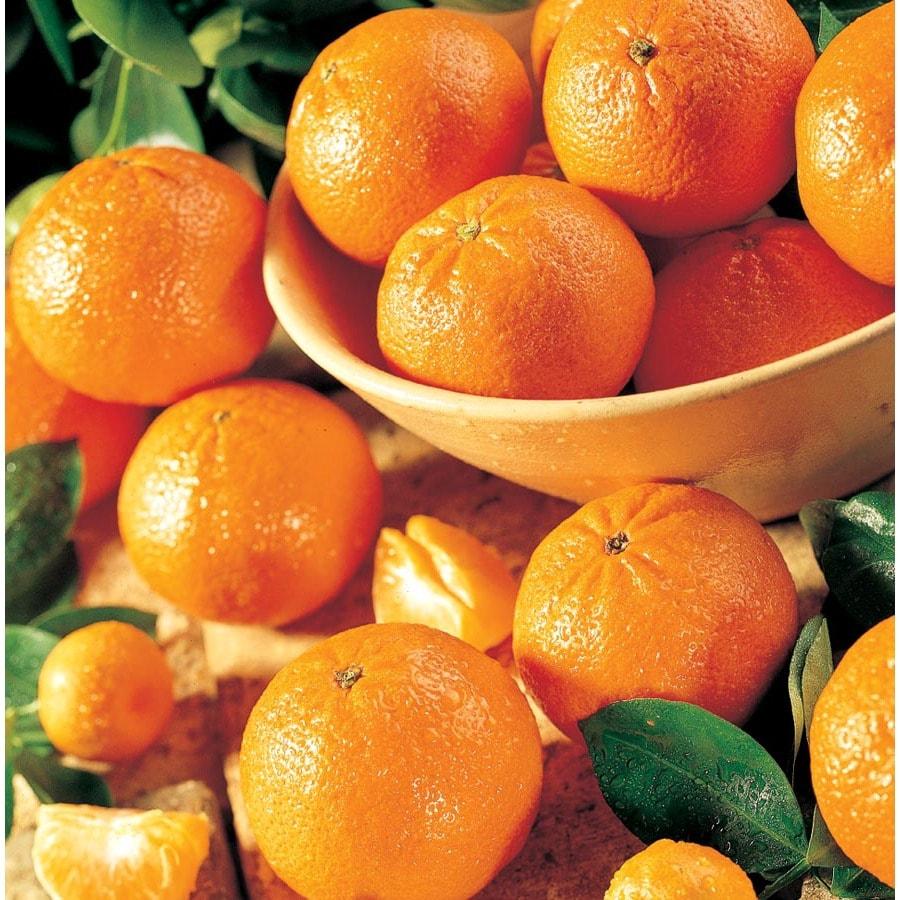 3.8-Quart Mandarin Tree (L11379)