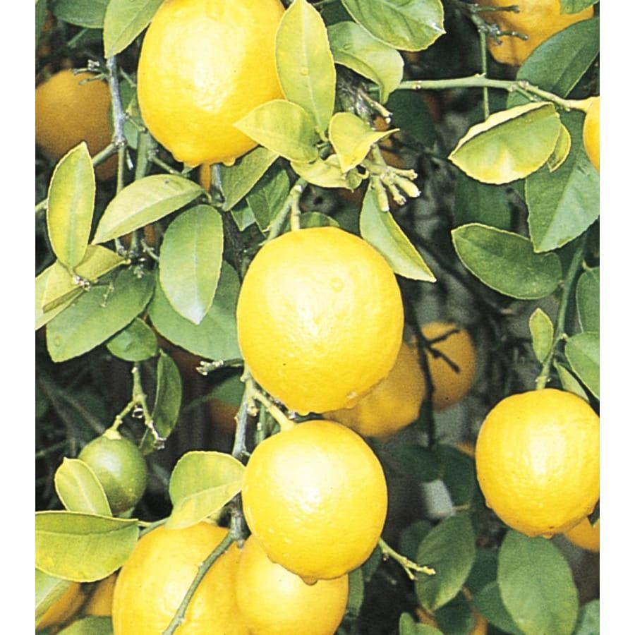 3.5-Gallon Dwarf Lemon Tree (L10408)