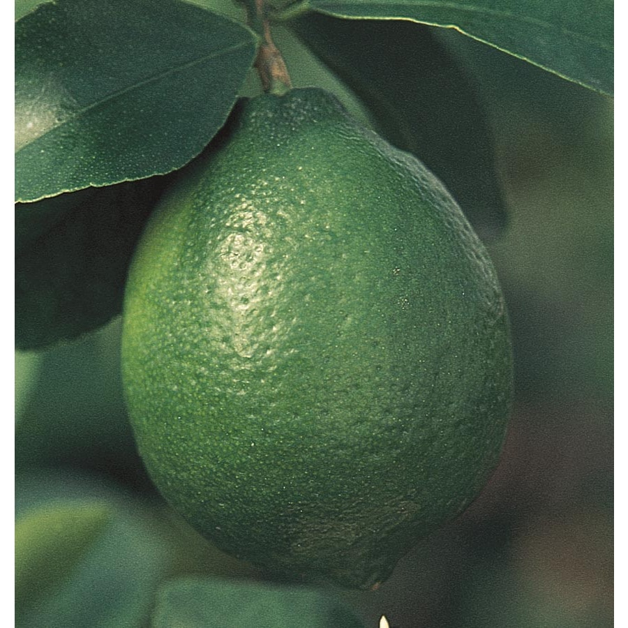 3.5-Gallon Dwarf Lime Tree (L10406)