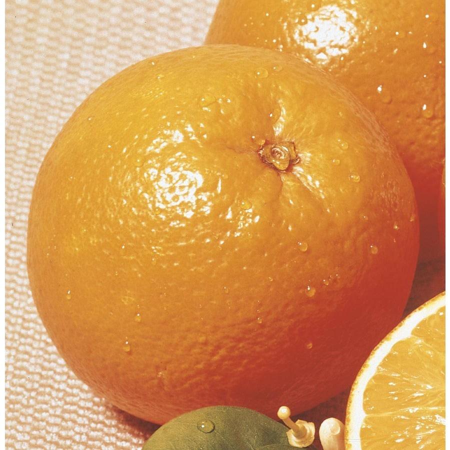 3.5-Gallon Dwarf Navel Orange Tree (L10409)