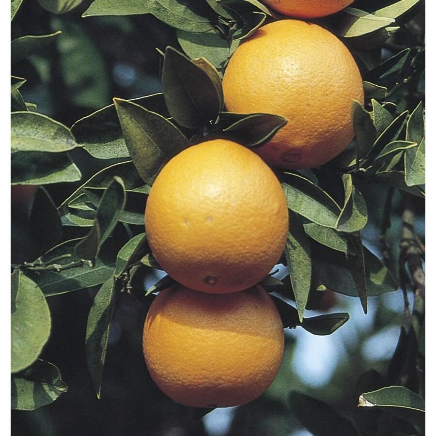 3.5-Gallon Semi-Dwarf Navel Orange Tree (L6110)