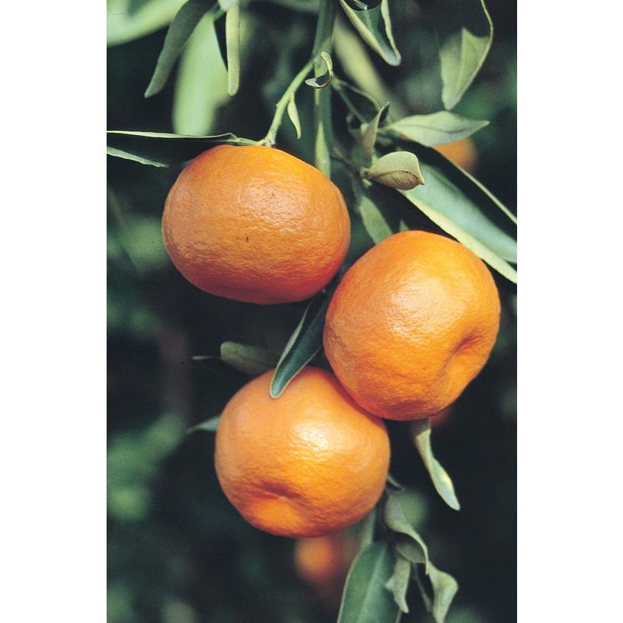 3.5-Gallon Tangelo Tree (L4687)