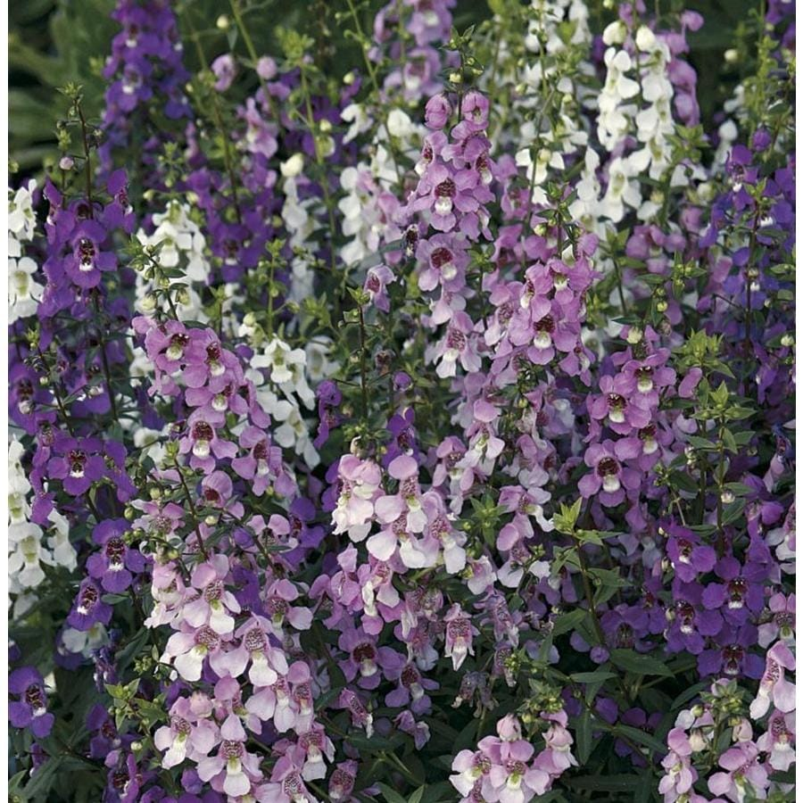 6-Pack Angelonia (L10016)