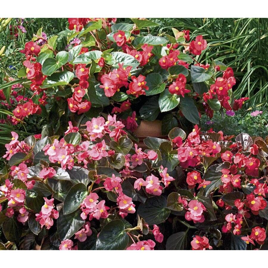 3-Quart Big Begonia (L20350)