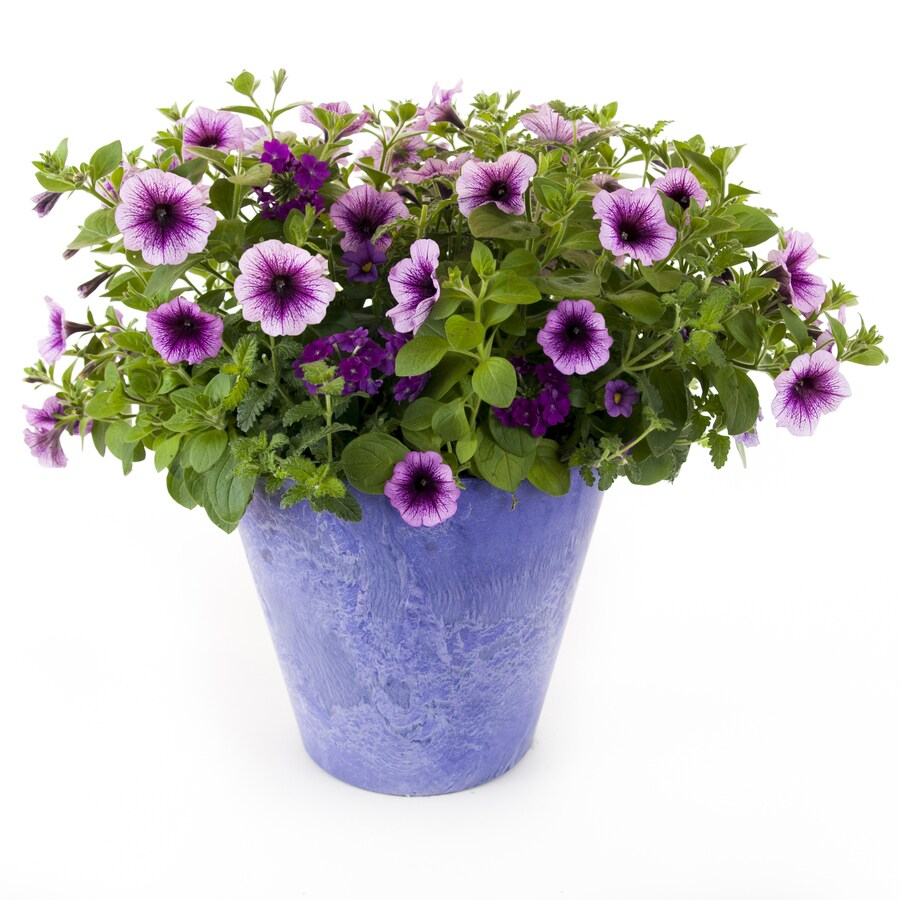 Napa Purple Cleopatra Napa Grape Planter Kit