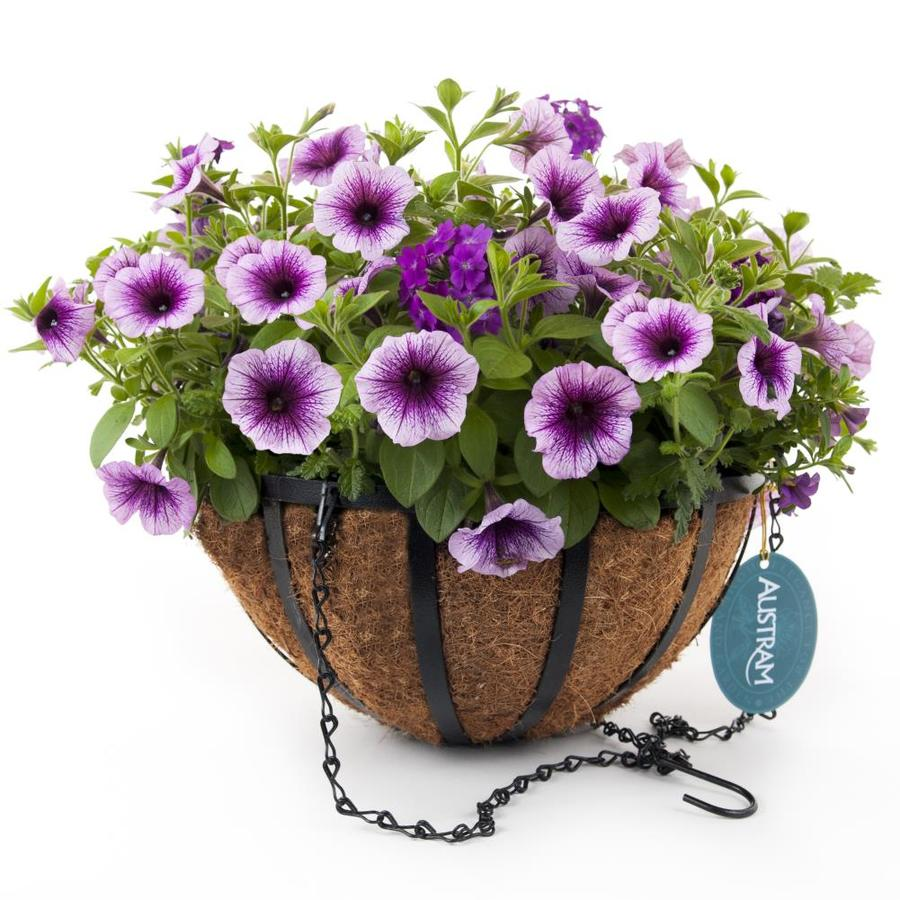 Hampton Purple Cleopatra Black Wrought Iron Hanging Basket Kit