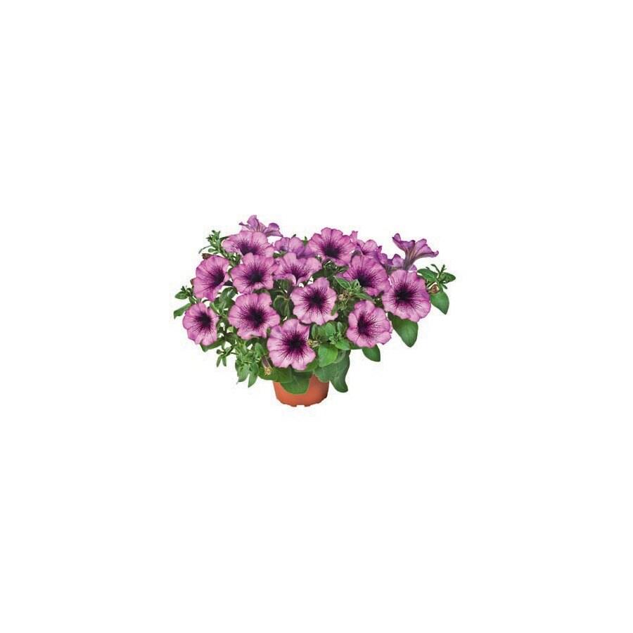 2.5-Quart Fortunia® Purple Fairy Bell Petunia (L23618)