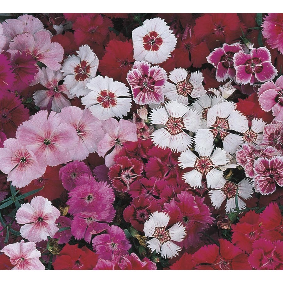 1.5-Gallon Dianthus (L17860)