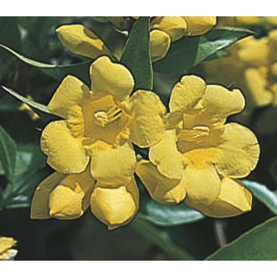 1.5-Gallon Carolina Jessamine (L7472)
