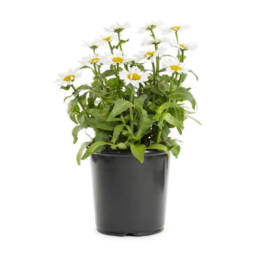 2-Gallon Leucanthemum