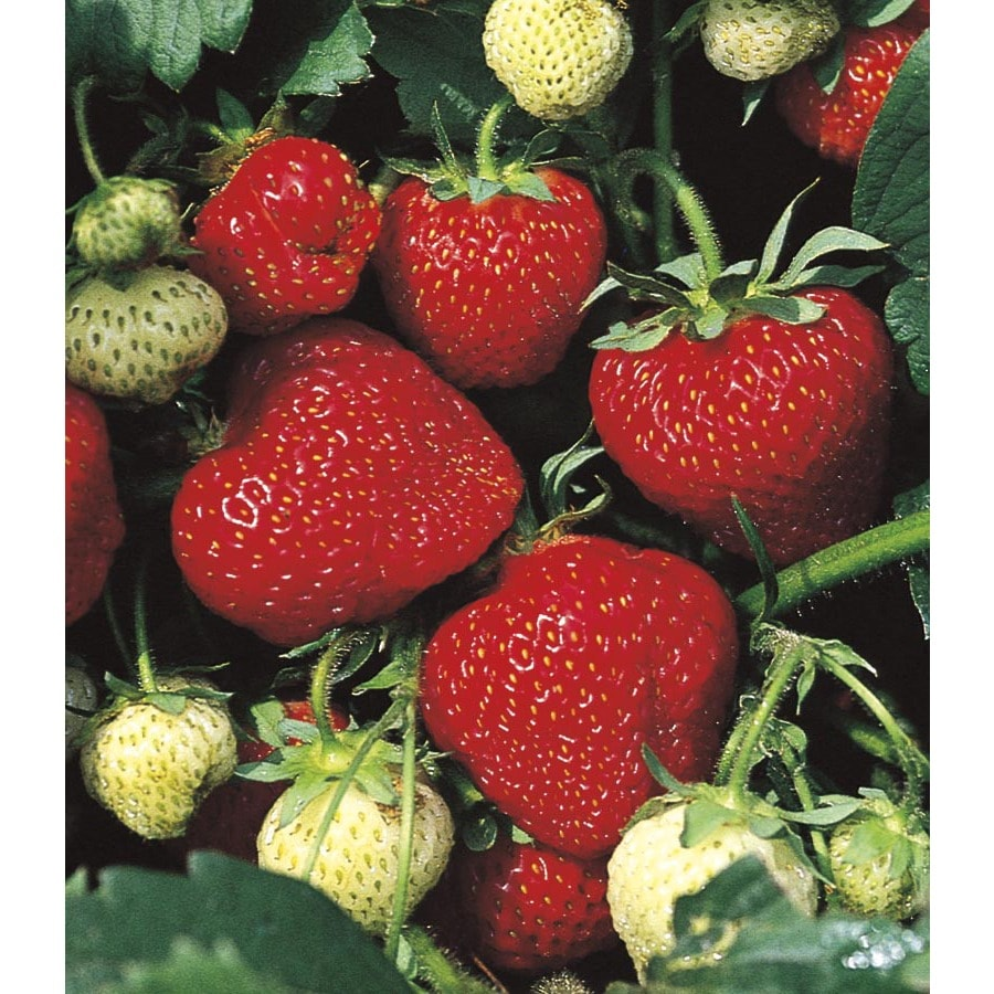 2.5-Quart Strawberry (L24887)
