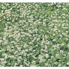 Shop ground cover at lowes 1 pint clover potted l24890 mightylinksfo