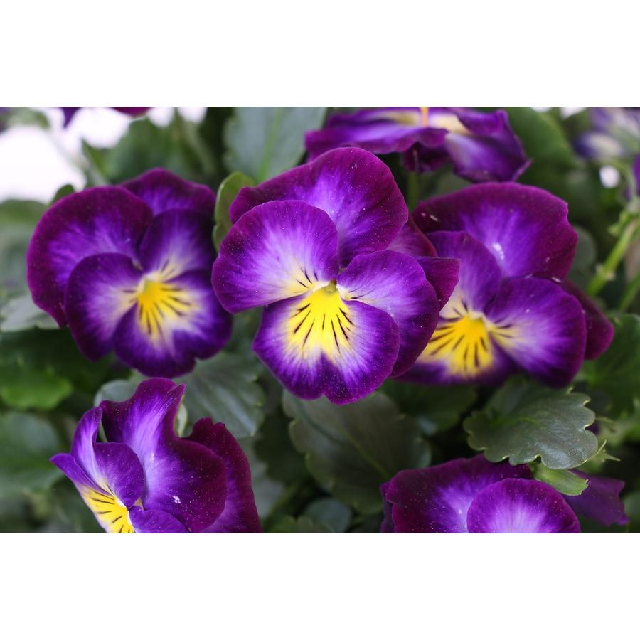 1 Pint Viola
