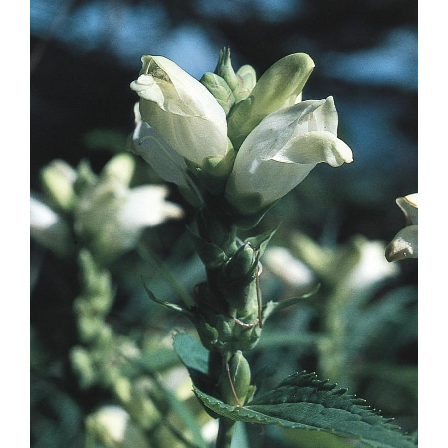 2.5-Quart White Turtlehead (Lw03980)
