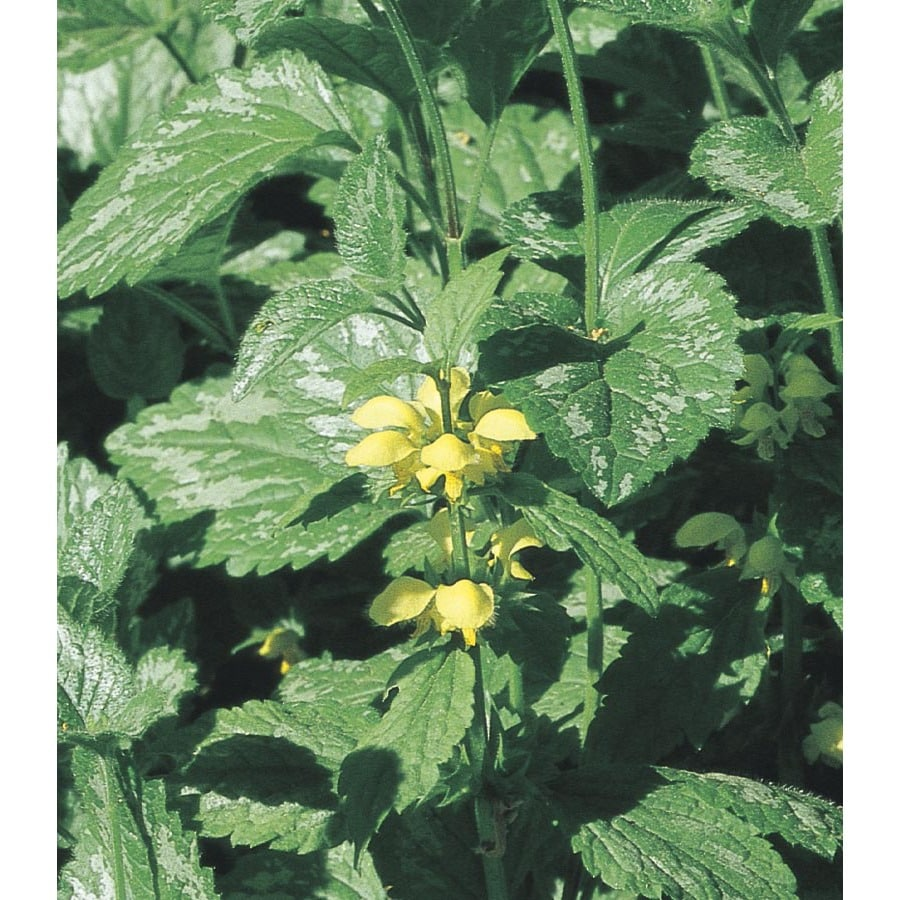 2-Quart Yellow Archangel Pot (L01084)