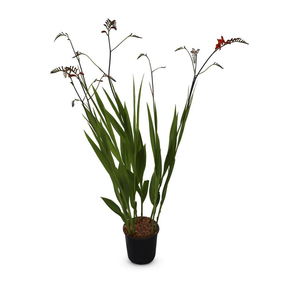 1-Gallon Crocosmia (Lb21791)