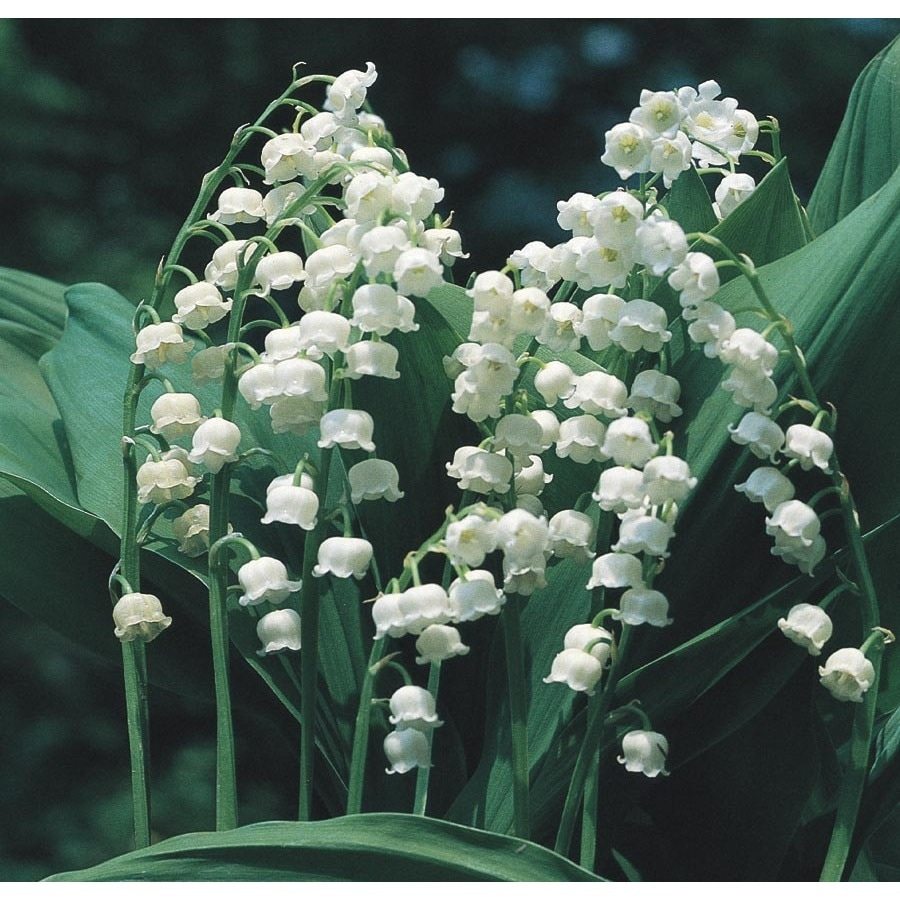 1-Quart Lily of The Valley (L8114)