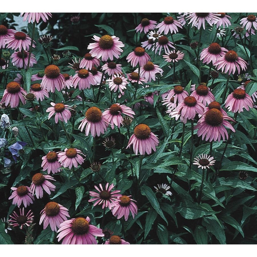 2.25-Gallon Purple Coneflower (L5556)