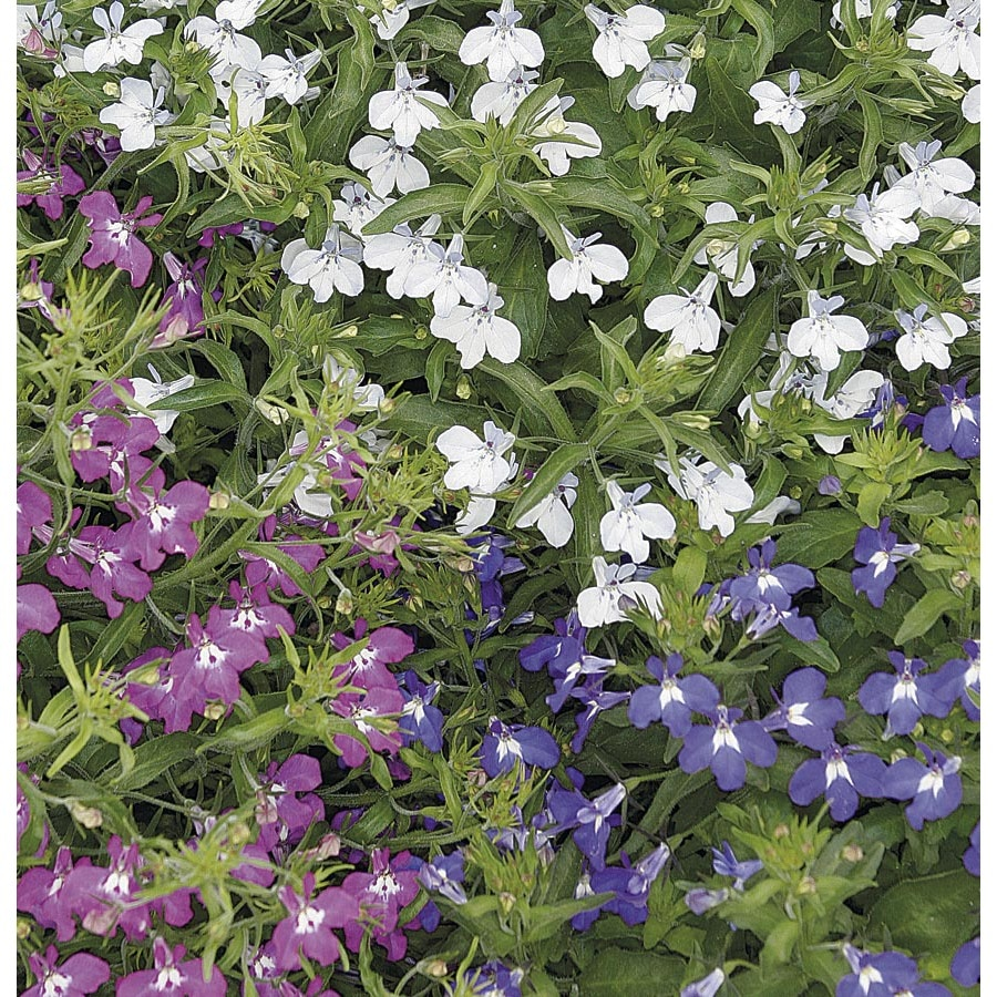 2.25-Gallon Lobelia (L9900)