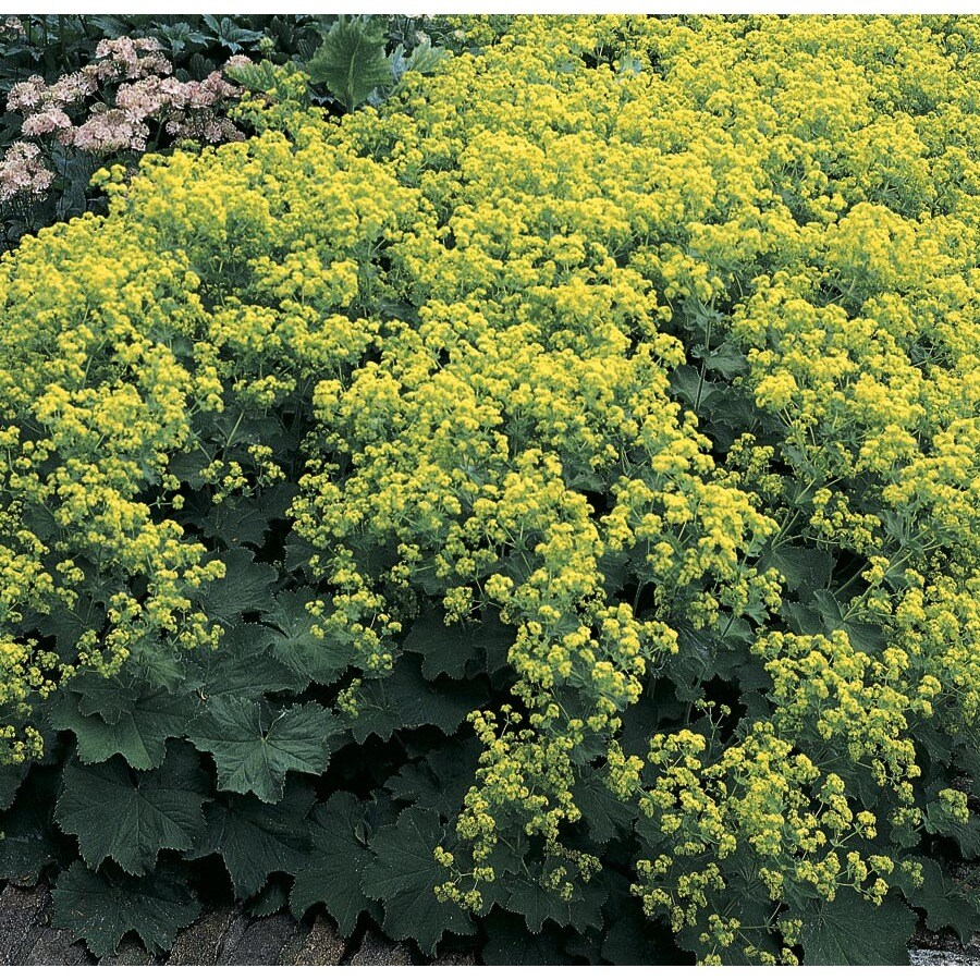 2.5-Quart Lady's Mantle (L14654)