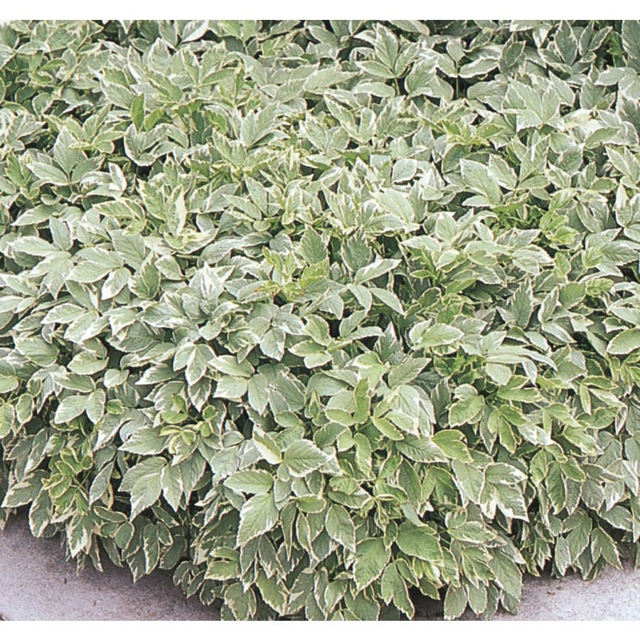 2.25-Gallon Goutweed (L8014)
