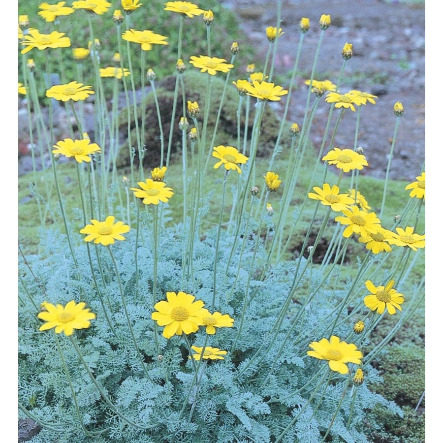 2.25-Gallon Marshall Chamomile (L15041)