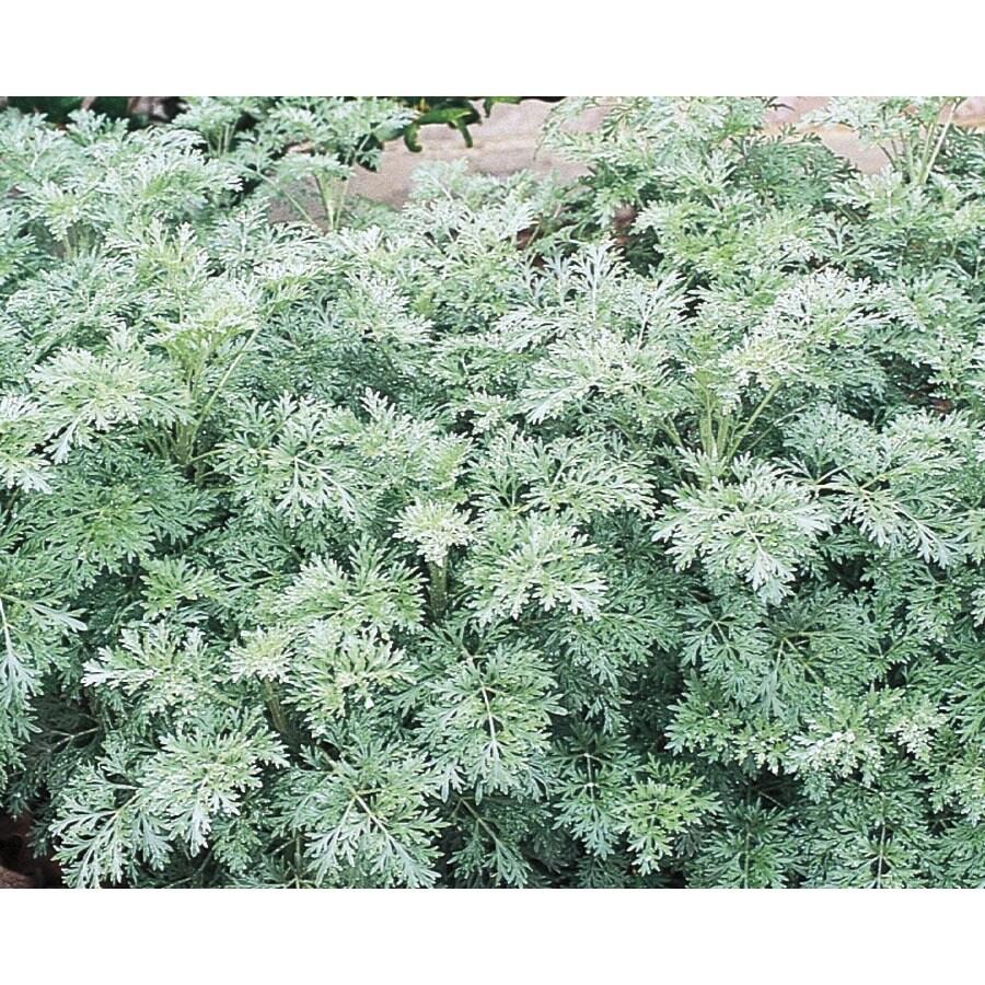 2.25-Gallon Artemisia (L15144)