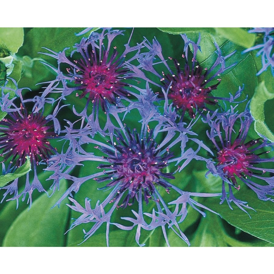 2.25-Gallon Mountain Bluet (L5708)